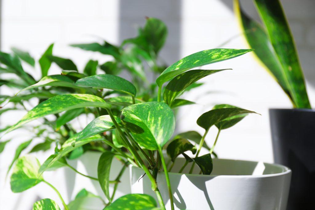 観葉植物 シンプルアップ